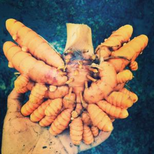 2014 Turmeric Harvest, photograph by Van Tran